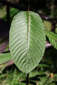 bali_kratom_leaves